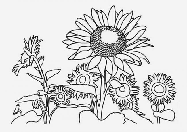 Bộ sưu tập tranh tô màu hoa hướng dương và biết ý nghĩa của hoa 18